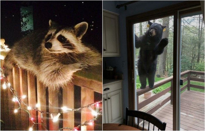 Любопытные животные заходят в гости.