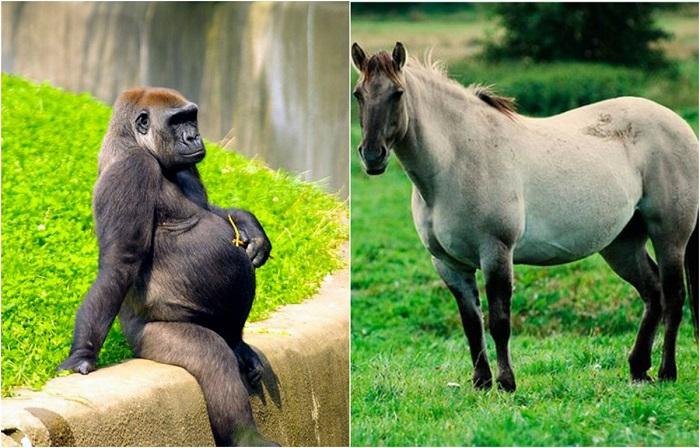 Животные в «интересном положении».