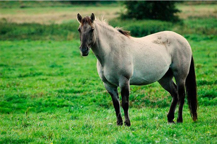 Лошадь, период беременности – от 11 до 12 месяцев.