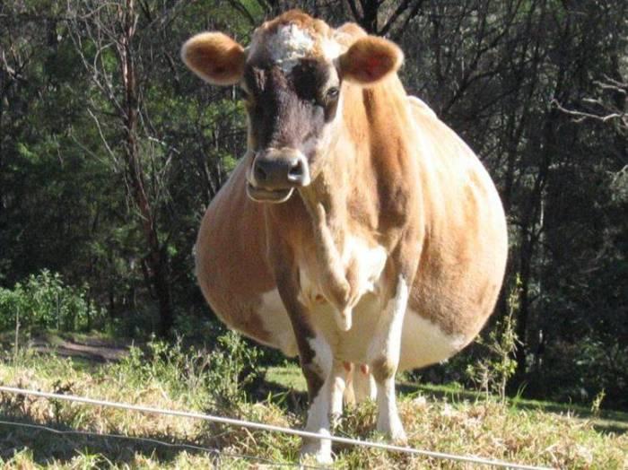 Корова, период беременности – от 240 до 311 дней.