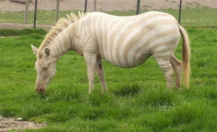 Зебра-альбинос, период беременности – от 361 до 372 дней.