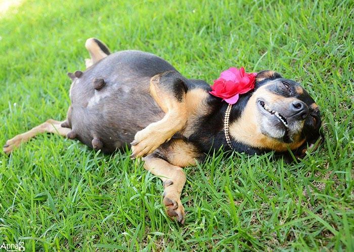 Собака, период беременности – от 58 до 68 дней.
