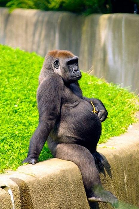 Горилла, период беременности – от 250 до 290 дней.