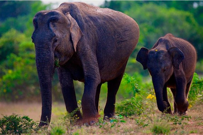 Слон, период беременности – от 20 до 22 месяцев.
