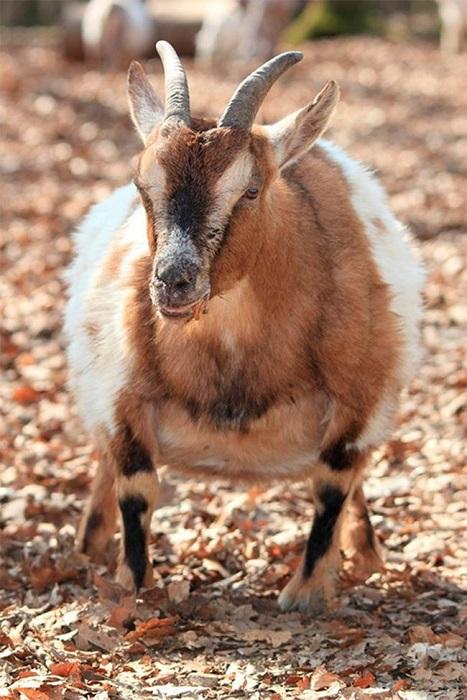 Коза, период беременности – от 146 до 157 дней.