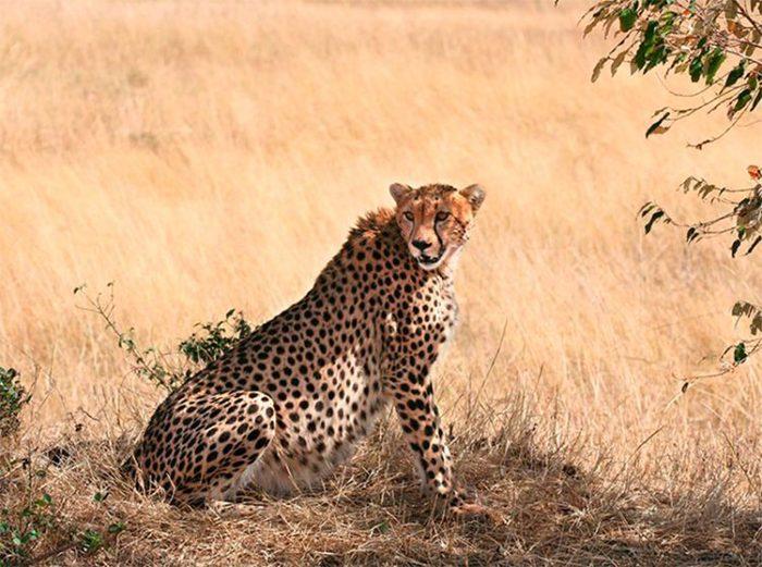 Гепард, период беременности – от 85 до 95 дней.