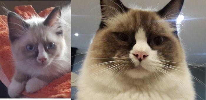 Этот шикарный кот еще год назад был симпатичным пушистым котенком – удивительная трансформация!