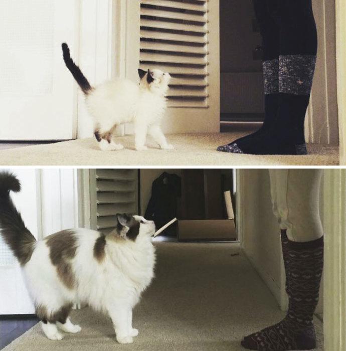 Малышка Невилль превратилась в грациозную кошку и обзавелась пушистой шубкой с новыми бонусными пятнышками.