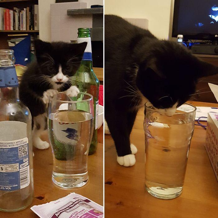 Будучи котенком, черный Флук приучился пить воду из стакана и даже спустя 2 года не упускает возможности продемонстрировать свои выдающиеся способности.