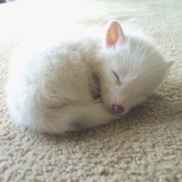Совсем недавно, такой крошечной была эта чудесная белая лисичка Рилай.