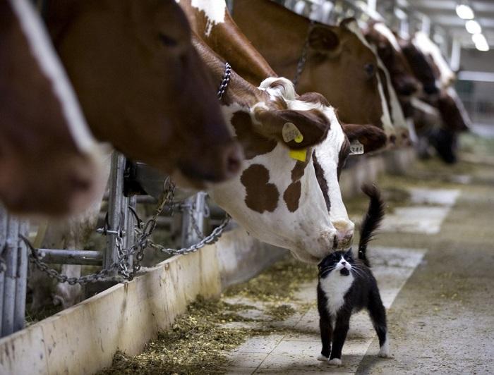 Нежная дружба между коровами и кошкой, проживающей на ферме в Квебеке, Канада.