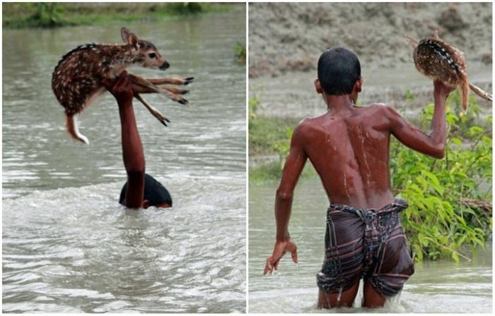 Во время наводнения неподалеку от округа Нокхали в Народной Республике Бангладеш мальчик по имени Билал увидел тонущего олененка, отбившегося от своей семьи, рискуя своей жизнью, он спас животное.