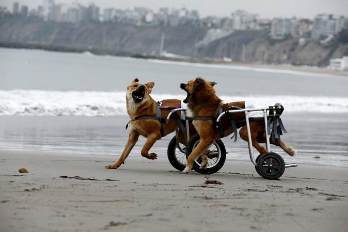 Парализованные собаки получили возможность передвигаться и радоваться жизни, как и прежде, Лима, Перу.