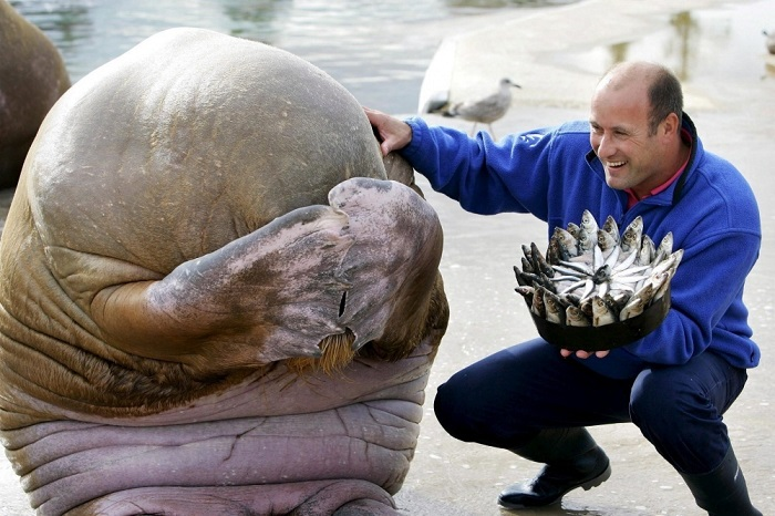 Сотрудник зоопарка дарит на день рождения моржу торт из селедки.