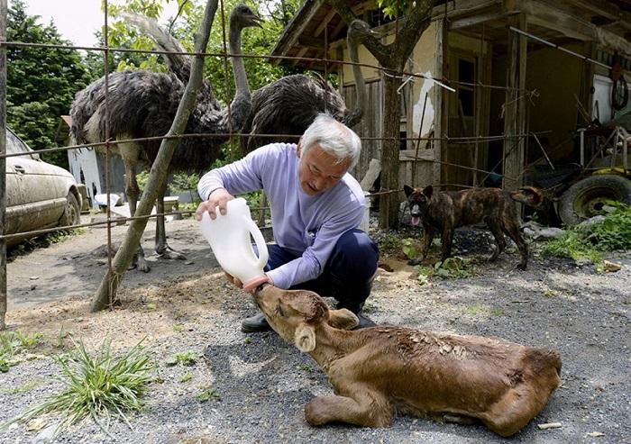 Наото Мацумура - единственный человек, который не побоялся жить в запретной зоне около Фукусимы. Он покинул город вместе с другими жителями, но вернулся, чтобы заботиться об оставленных дома животных.