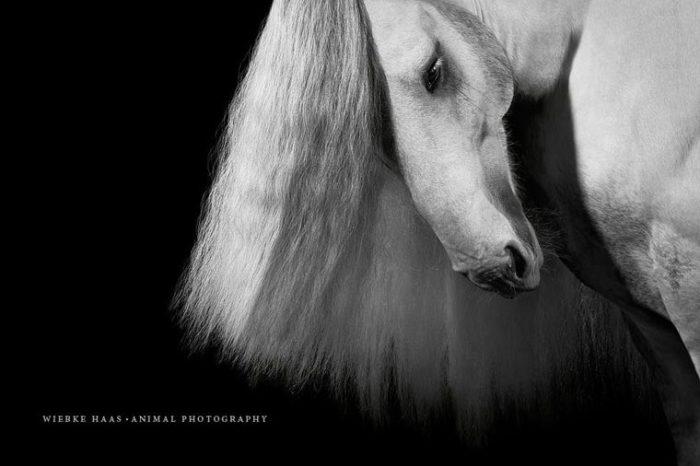 Лошадь с белой длинной гривой.