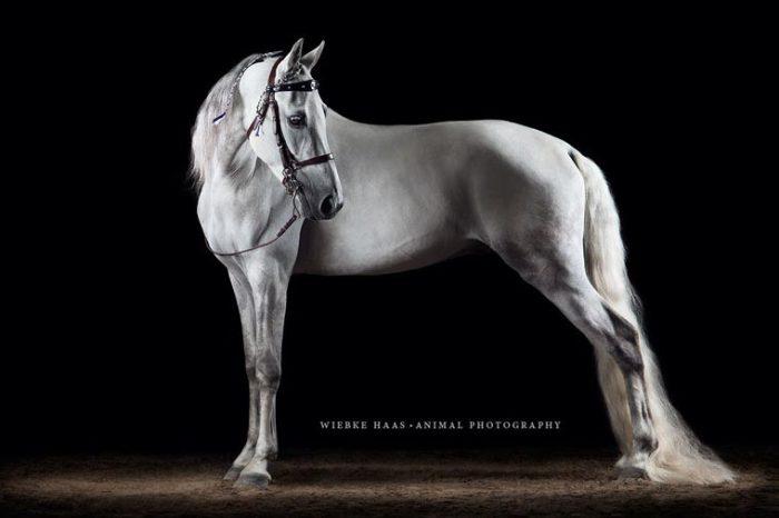 Лошадь с белой гривой и длинным белым хвостом.