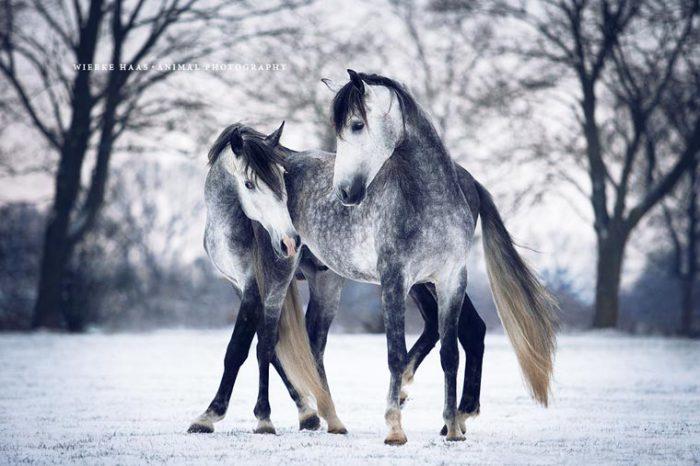 Нежность между лошадьми.