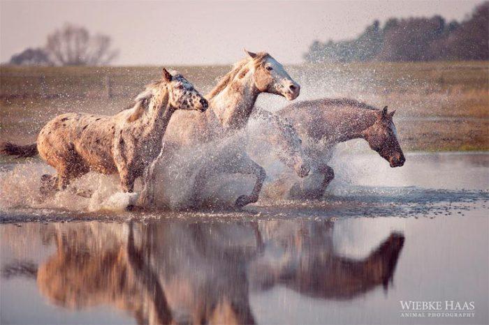 Лошади, бегущие по воде.