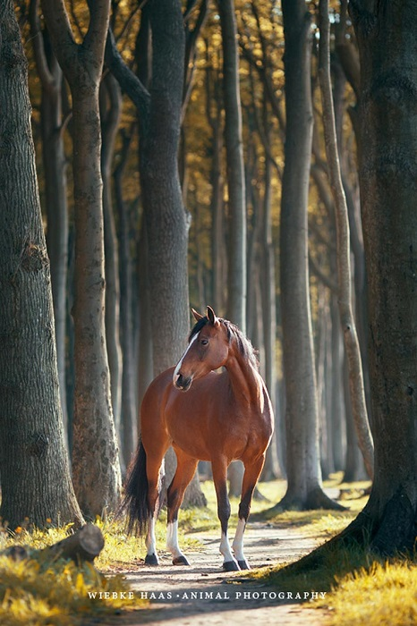 Холёная лошадь.