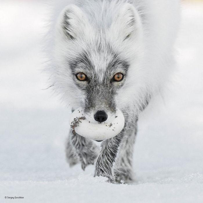 Автор фотографии и финалист в категории «Портреты животных» - Сергей Горшков, Россия.