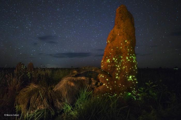 Автор фотографии и победитель в категории «Животные в естественной среде обитания» - Марсио Кабрал (Marcio Cabral), Бразилия.