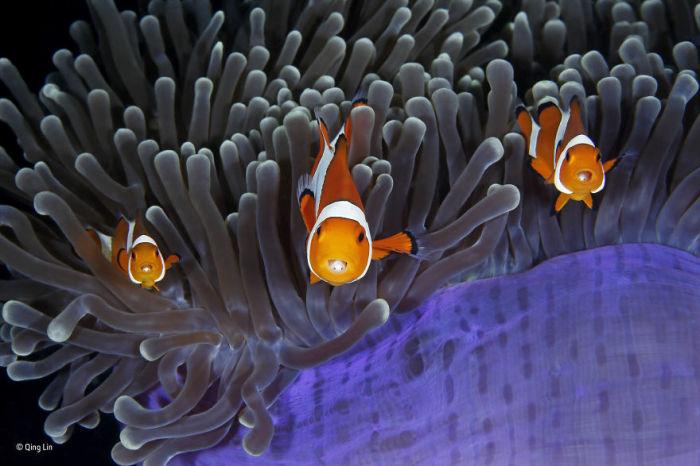 Автор фотографии и финалист в номинации «Под водой» - Цин Линь (Qing Lin), Китай.