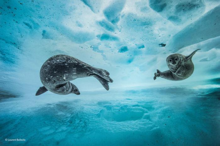Автор фотографии и финалист в номинации «Поведение: млекопитающие» - Лорен Баллеста (Laurent Ballesta), Франция.