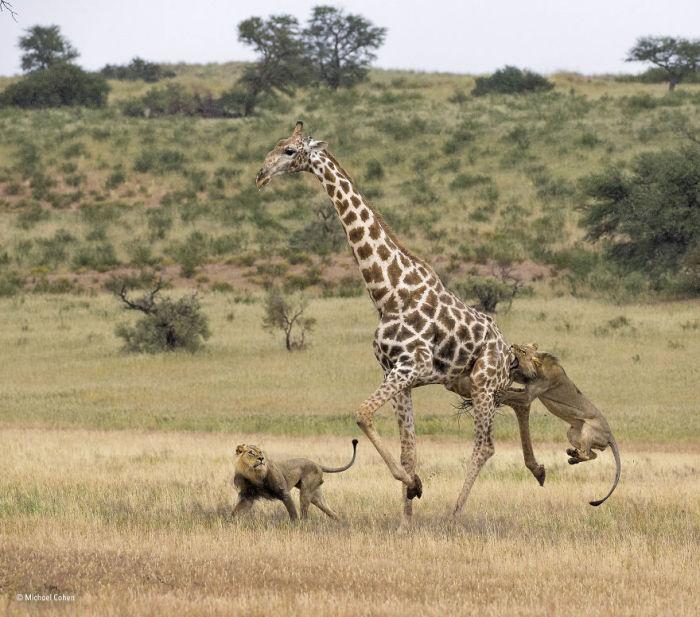 Автор фотографии и финалист в категории «Поведение: млекопитающие» - Майкл Коэн (Michael Cohen), США.