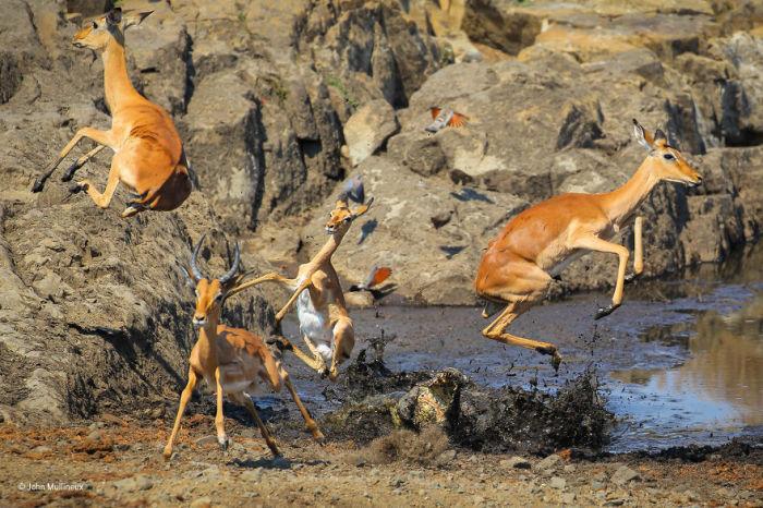 Автор фотографии и финалист в номинации «Поведение: млекопитающие» - Джон Муллинью (John Mullineux), ЮАР.