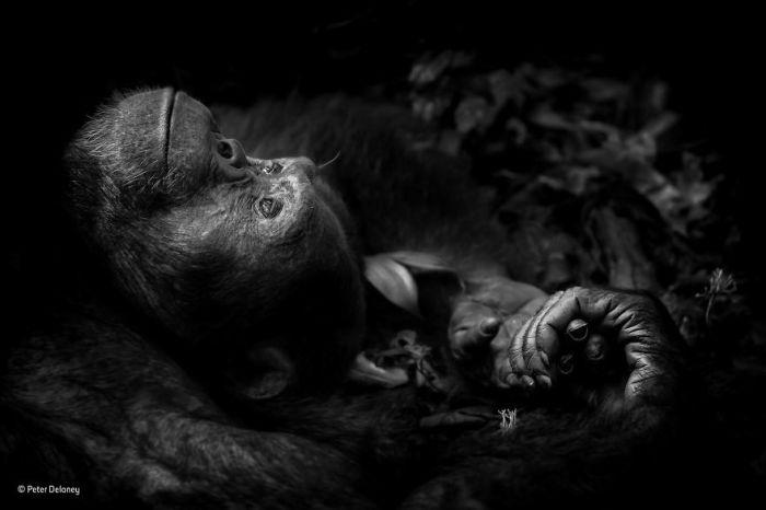 Автор фотографии и победитель в категории «Портреты животных» - Питер Делани (Peter Delaney), Ирландия / ЮАР.