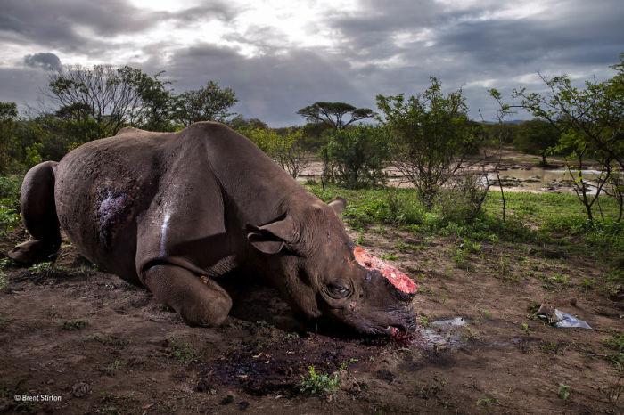 Автор фотографии и победитель всего конкурса - Брент Стиртон (Brent Stirton), ЮАР.