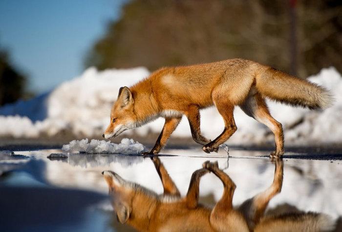 В поисках добычи лисица переходит талую воду.