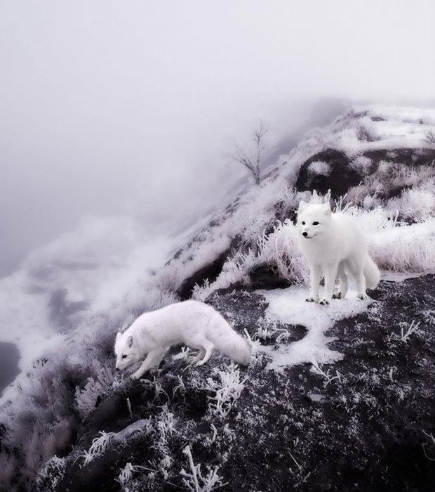 Очаровательные лисицы в поисках укромного уголка для ночлега.