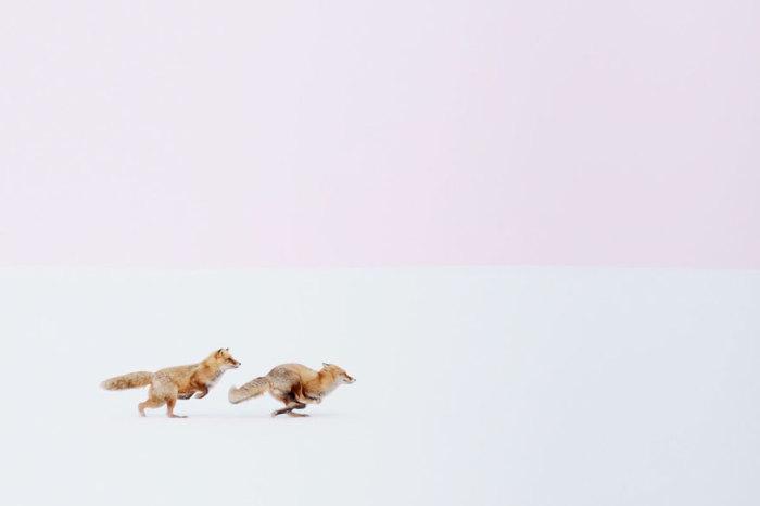 Молодые лисы очень любят поиграть и порезвиться, особенно в брачный период.