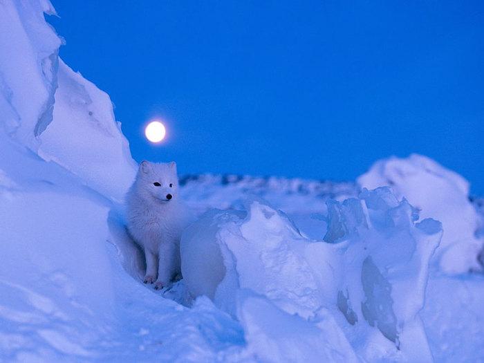 Полярный зверек в белоснежной шубке готов к ночной охоте.