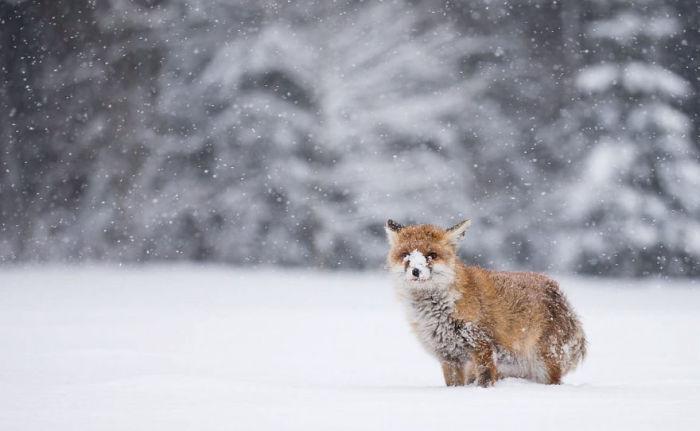 Лисица носом раскапывает снег, в поисках своих запасов или добычи.