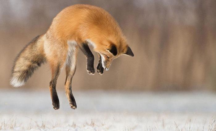 В один миг  лиса подбирается, прыгает - трофей пойман.