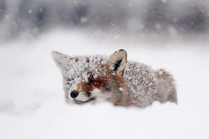 Лисица-охотница может пролежать в одном положении пару часов, внимательно наблюдая за добычей.