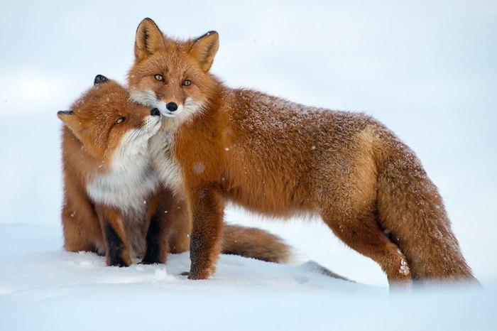 Лисица одевает  яркую шубку зимой, которая отличается длинной шерстью.