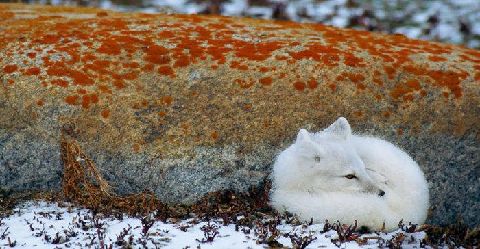 Свернувшись калачиком, лисенок засыпает пригревшись возле камня.