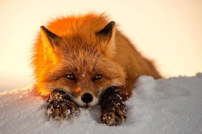 В лучах заходящего солнца, шубка у лисы становится огненно-рыжей.