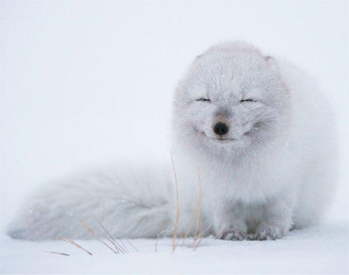Белый лисенок прикрыл глаза от сильного дуновения ветра.