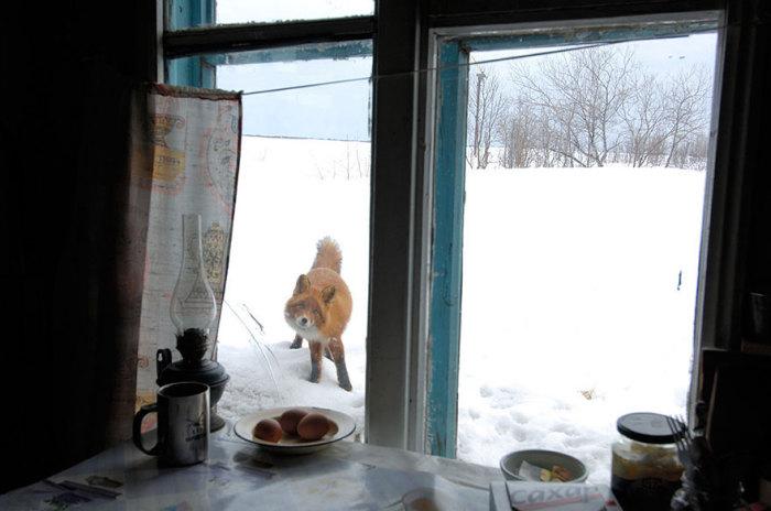 Любовь к домашней птице привела любопытную лису в деревню.