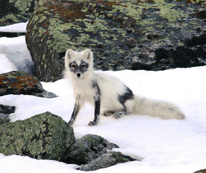 Охотничьи навыки у лисиц заложены в крови.