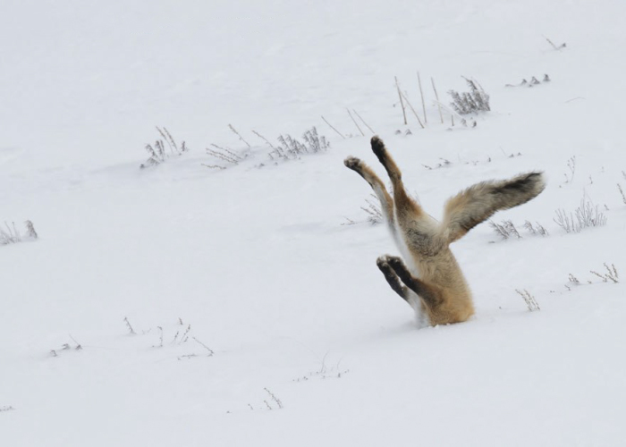 Лисица нырнула в белоснежный сугроб за добычей, которую может расслышать своим проницательным слухом под толщей снега.