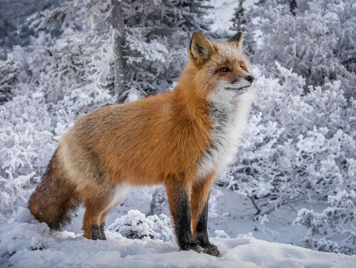 У рыжей лисицы кончик хвоста окрашен в белый цвет, а на лапках одеты черные чулочки.