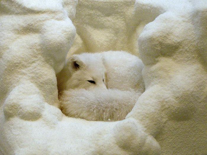 Лисица с белым окрасом шерсти свернулась калачиком и спит.