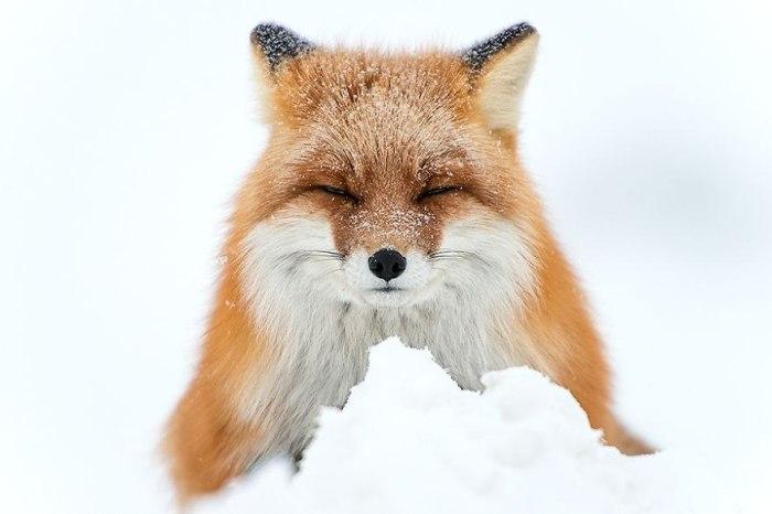 Лисица с великолепным мехом, припорошенная снежинками.