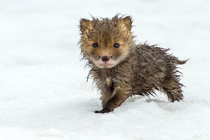 Мокрый зверек с бурой шерстью.